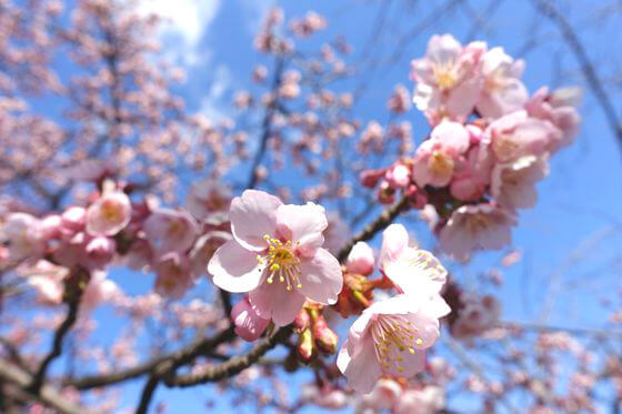 足立区 熱海桜