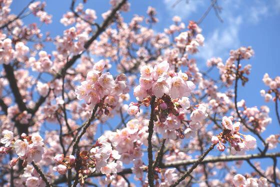 都市農業公園 熱海桜
