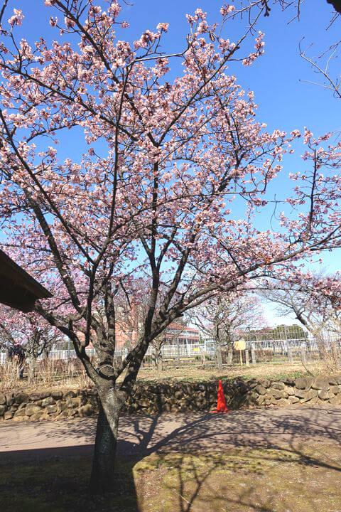 足立区 寒桜