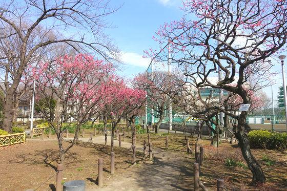 梅 隅田公園