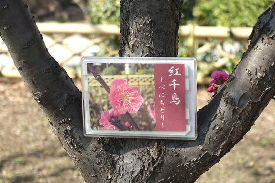 隅田公園 梅 種類