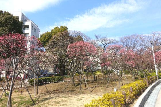 隅田公園 梅 見頃