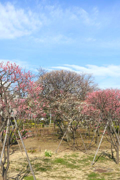 梅 隅田川