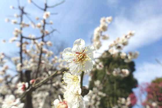 隅田公園 梅 開花状況