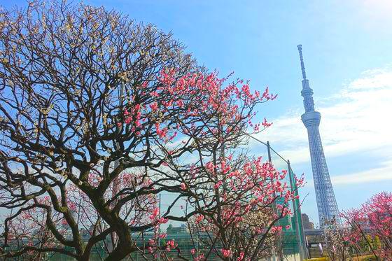 隅田公園 梅