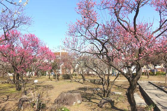 大谷田公園 梅