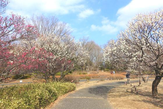 昭和記念公園 梅