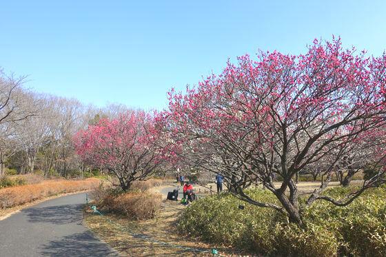梅 昭和記念公園