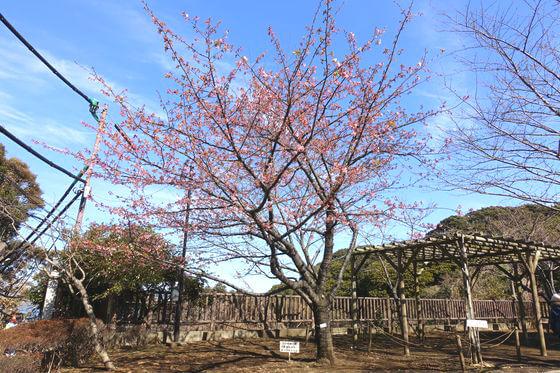 江の島 みどりの広場 河津桜