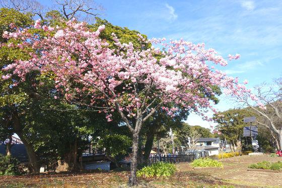 江ノ島 亀ヶ岡広場 河津桜