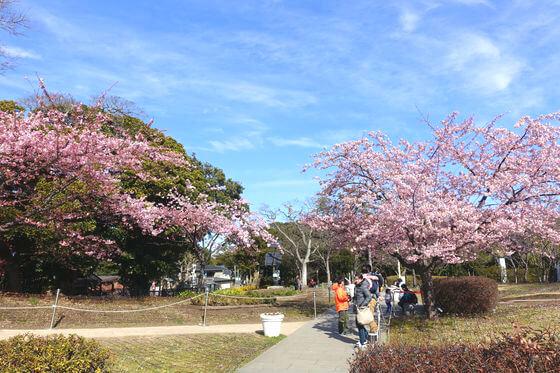 江の島 亀ヶ岡広場 河津桜