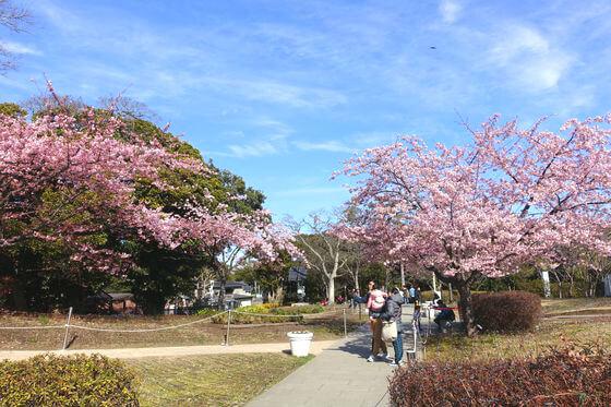 江の島 河津桜