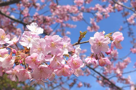 江の島 河津桜 開花状況