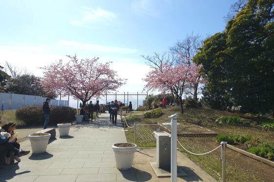 江ノ島 河津桜