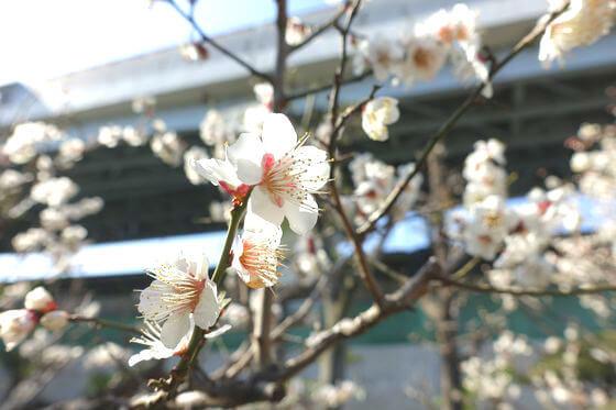 ウメ 隅田川神社