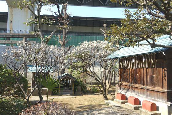 白梅 隅田川神社