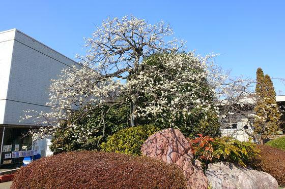 花と緑の振興センター 梅