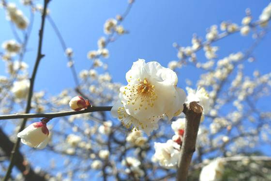 花と緑の振興センター 梅 開花状況