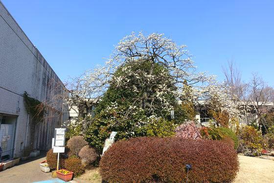 花と緑の振興センター 夫婦枝垂れ