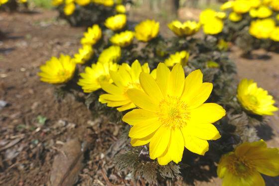 花と緑の振興センター 福寿草