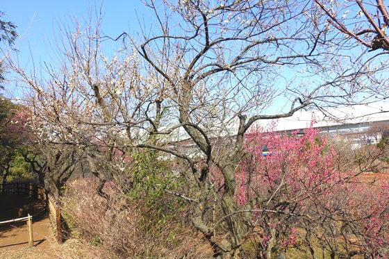 花と緑の振興センター ウメ