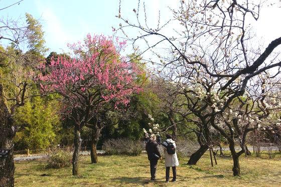 ウメ 神代植物公園