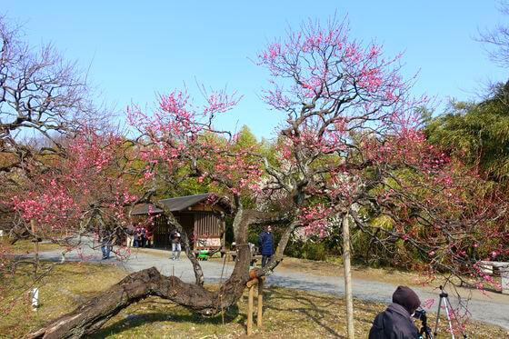 神代植物公園 梅
