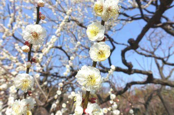 神代植物公園 梅 開花状況