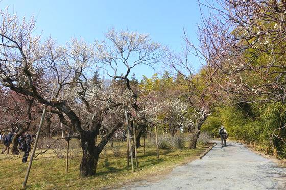神代植物公園 ウメ
