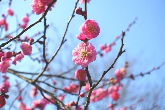 百草園 梅 開花状況