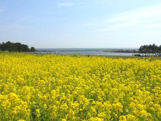 江戸川区 菜の花