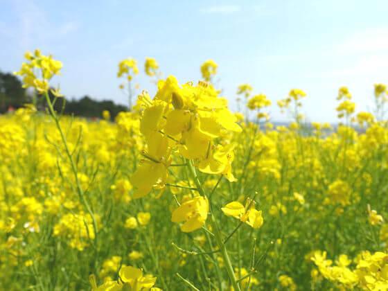 葛西臨海公園 菜の花 開花状況