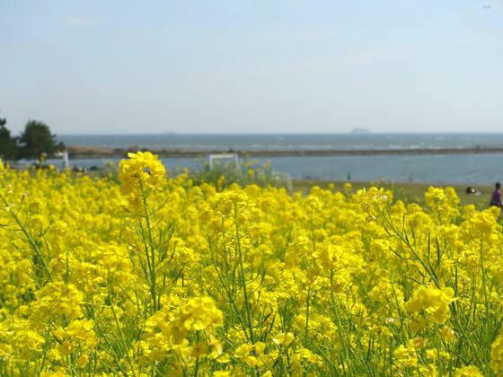 菜の花 江戸川区