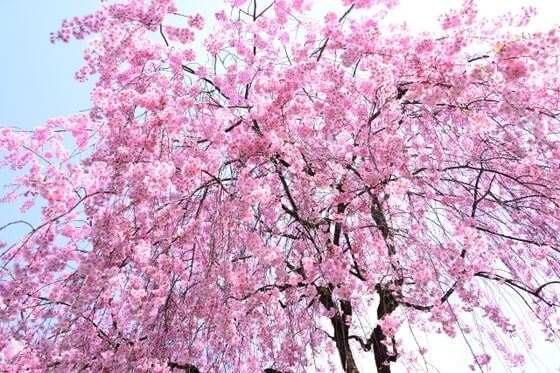 しだれ桜とは