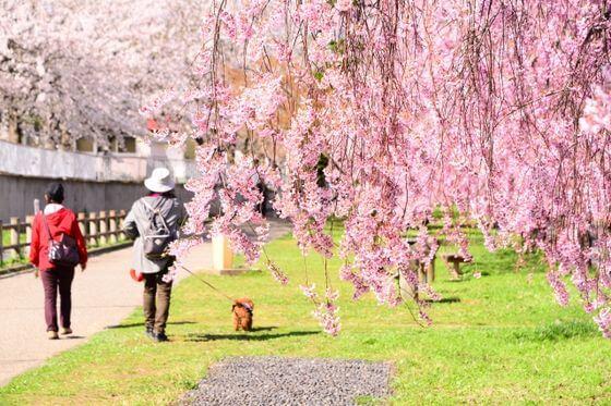しだれ桜 種類