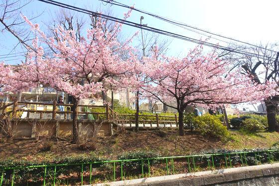 春日 清和公園 河津桜