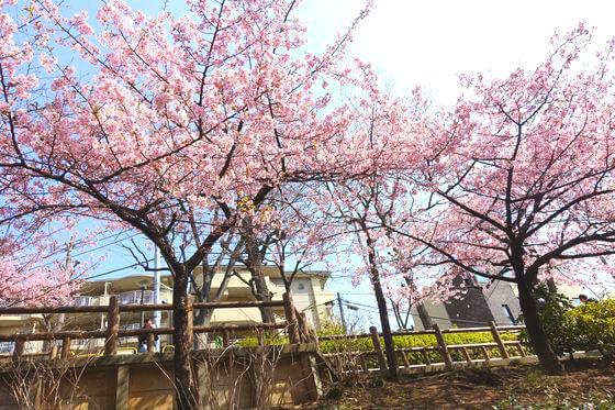 清和公園 河津桜