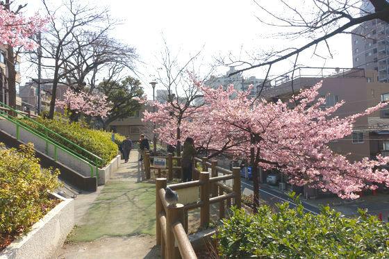 清和公園 文京区 河津桜