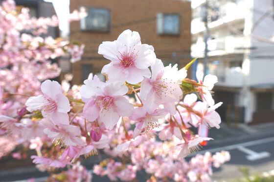 清和公園 春日 河津桜