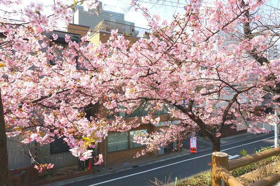 清和公園 本郷 河津桜