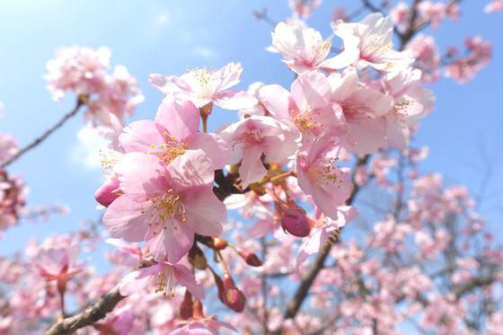 清和公園 河津桜 開花状況
