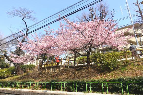 河津桜 清和公園