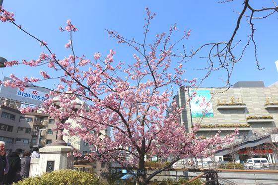 押上 河津桜