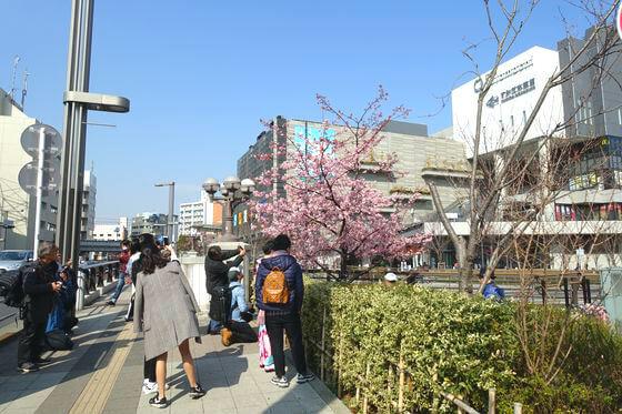 墨田区 河津桜