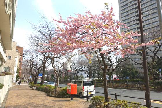 播磨坂 河津桜