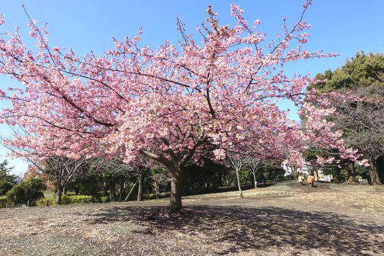 西郷山 河津桜