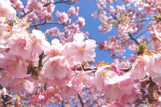 代官山 河津桜