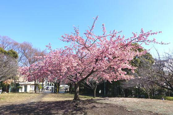 代官山 西郷山公園 河津桜