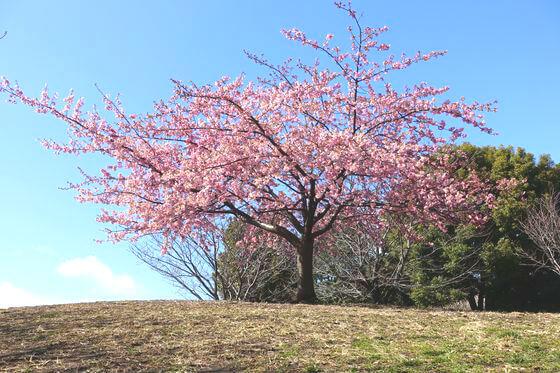 西郷山公園 河津桜