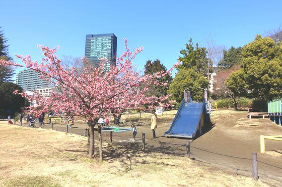 菅刈公園 河津桜